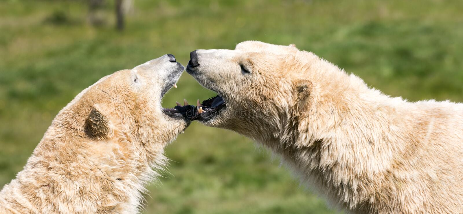 Polar bears heads. Two of Yorkshire Wildlife Parks polar bears. A close up of their heads stock photo