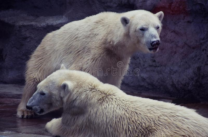 Polar bears. stock photography