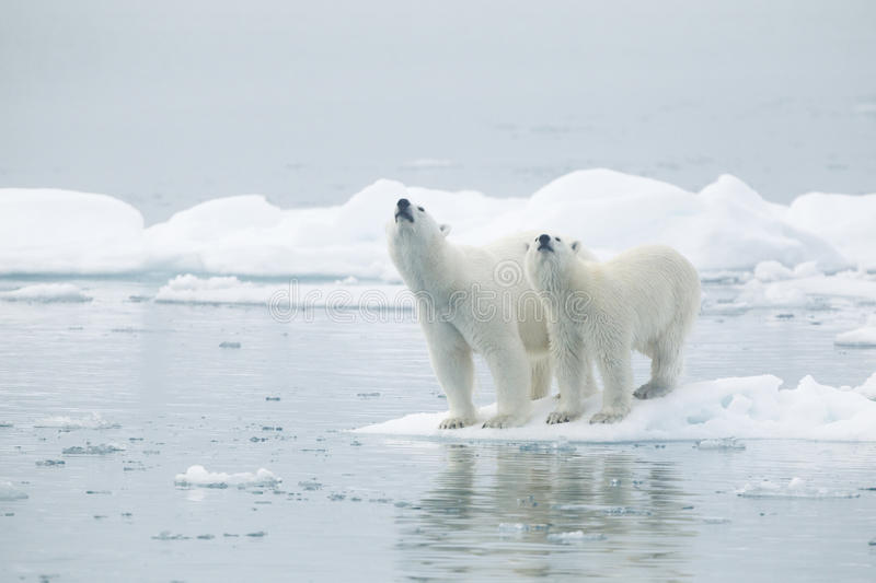 Polar bears on iceberg. Male and female polar bear on iceberg or floe with sea in foreground, Svalbard, Norway royalty free stock images