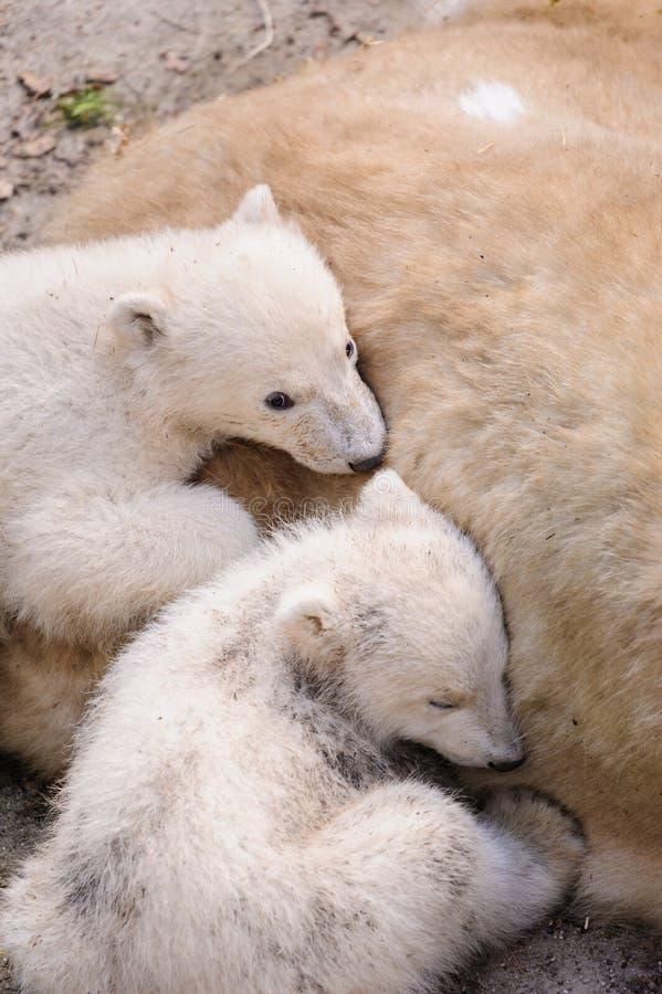 Download Polar bears stock image. Image of lake, stone, white - 37159349