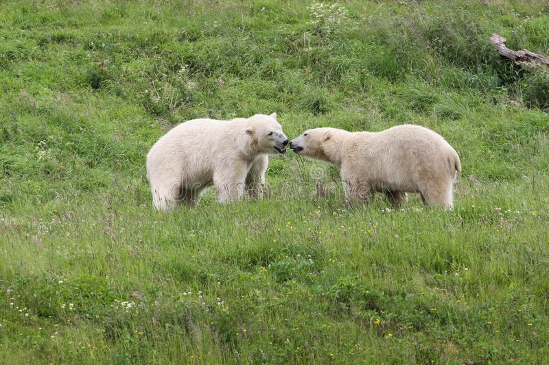 Polar bears in the nature royalty free stock image