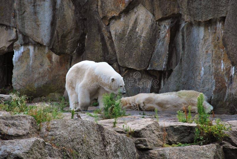 Polar bears outside their cave stock photo