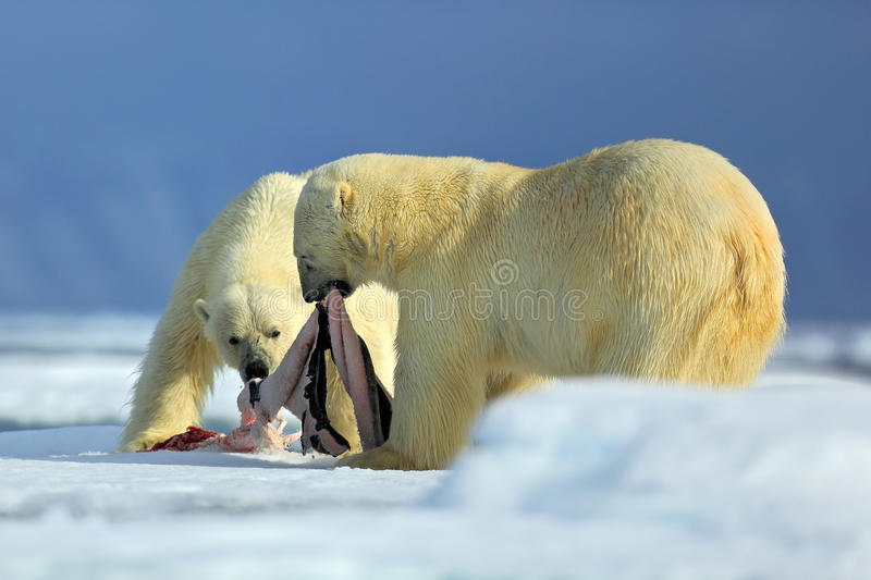 Polar bears, pair of big anilmals with seal pelt after feeding carcass on drift ice with snow and blue sky in Arctic Svalbard, in royalty free stock photos