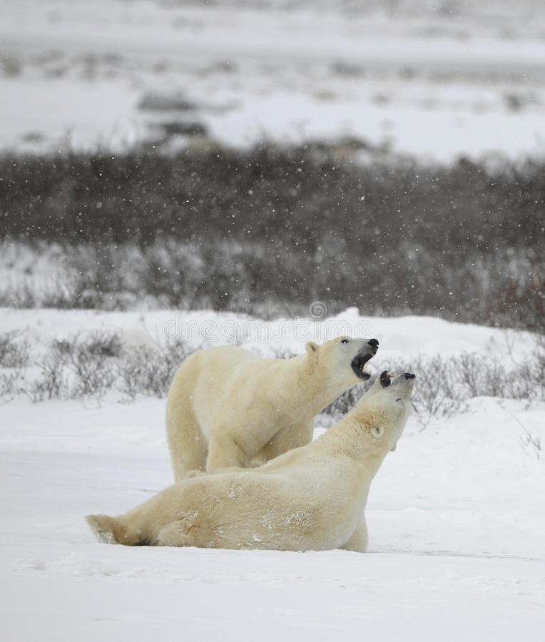 Polar bears play. stock photography