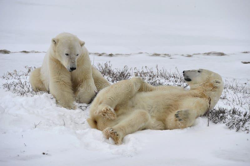 Polar bears playfool. royalty free stock photography
