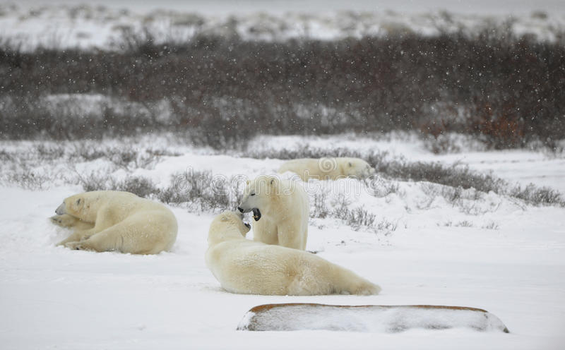 Polar bears relax stock images