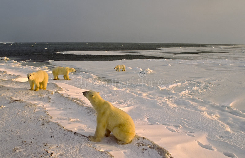 Download Polar Bears On Shore Of Hudson's Bay Stock Photo - Image of canada, winter: 6269206