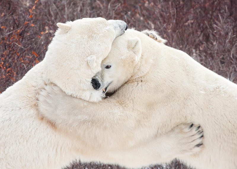 Polar bears sparring wrestling clawing and biting. Two polar bears fighting, biting and clawing each other while wrestling in front of red bushes stock photo