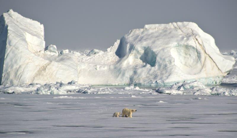 Polar Bears under an iceberg stock images