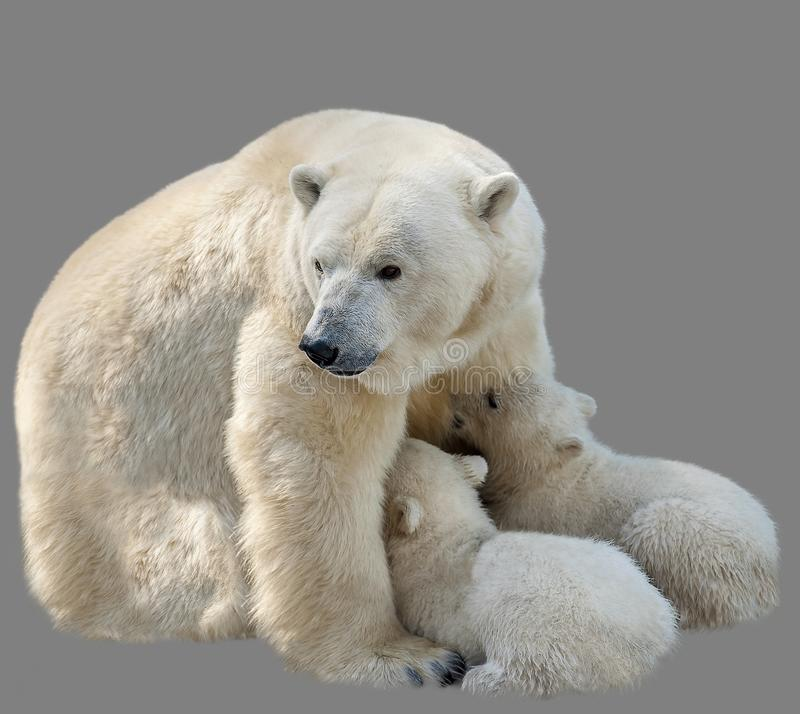 Polar bears Ursus maritimus - mother and two cub.  Bear mom feeding twins cubs royalty free stock photo