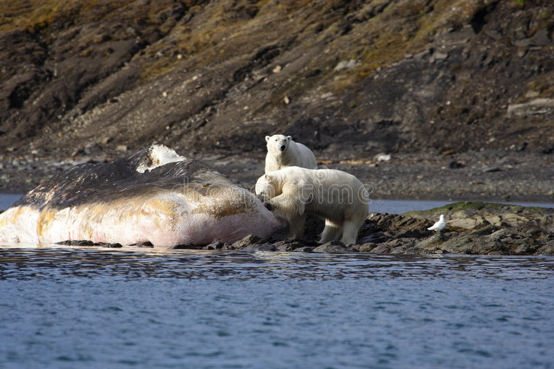 Polar Bears on a washed up sperm whale royalty free stock images