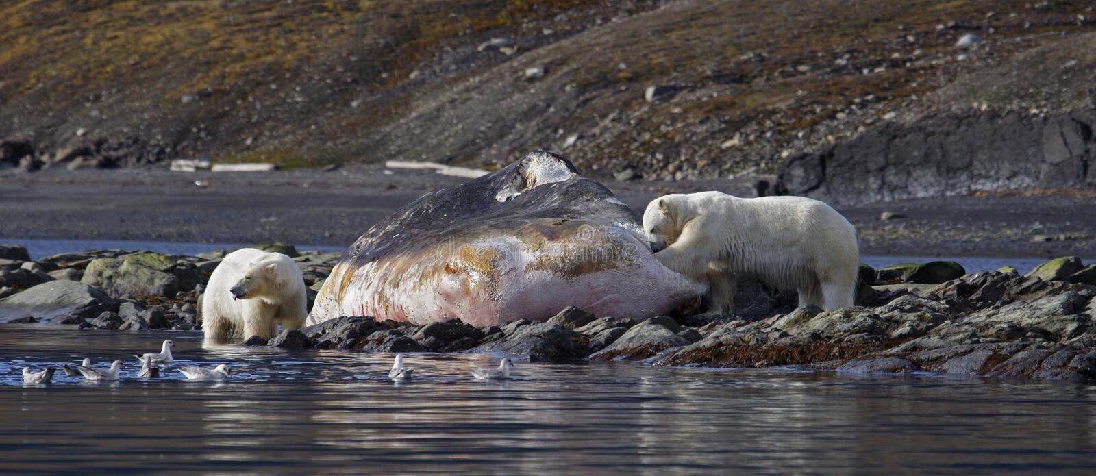 Polar Bears on a washed up sperm whale stock photos