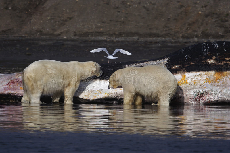 Polar Bears on a washed up sperm whale stock photography