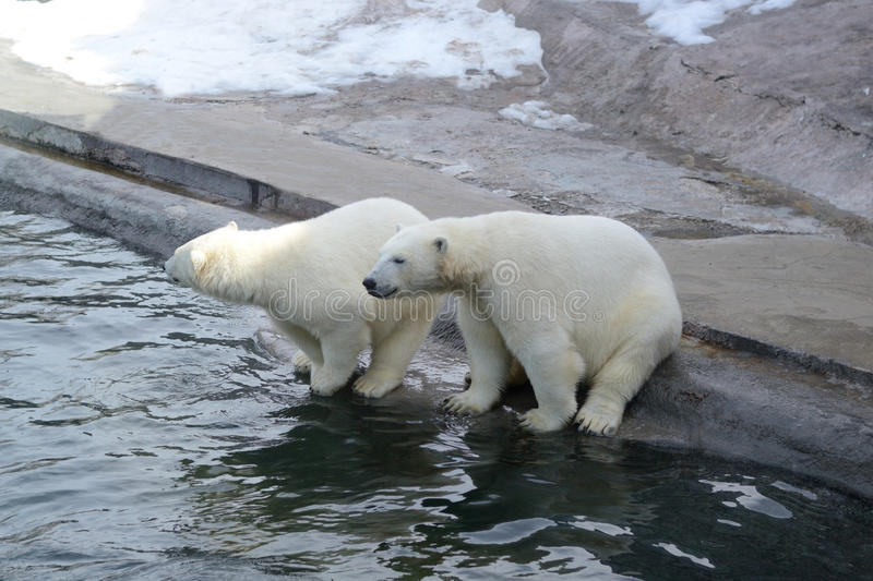 Polar bears. At the zoo near the water royalty free stock photography
