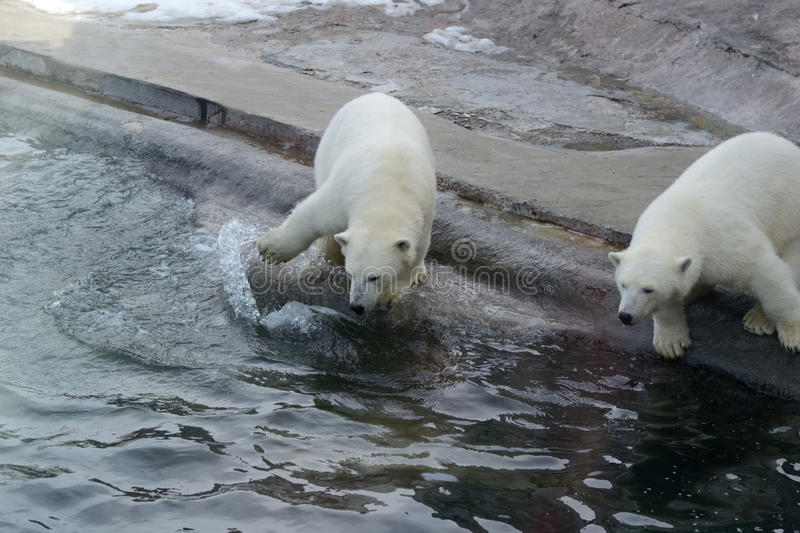 Polar bears. At the zoo near the water stock images