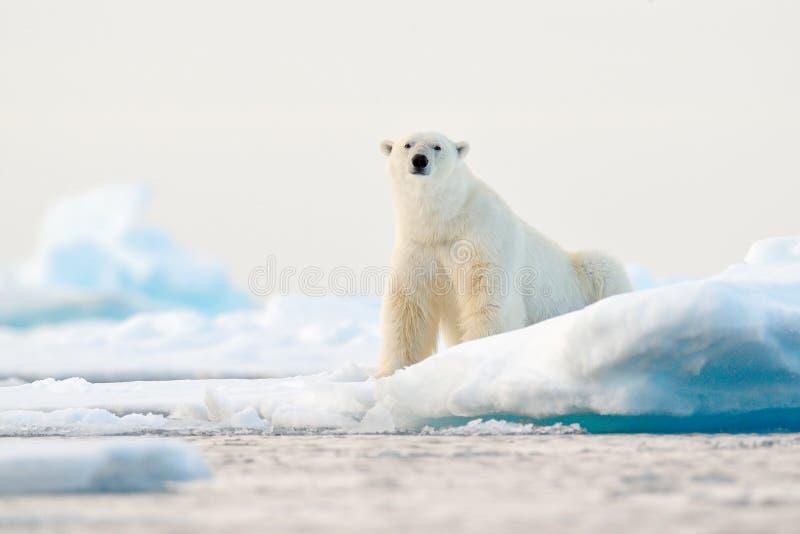 Polar betreffen Sie Treibeisrand mit Schnee und Wasser in Norwegen-Meer Wei?es Tier im Naturlebensraum, Svalbard, Europa wildnis lizenzfreie stockfotografie
