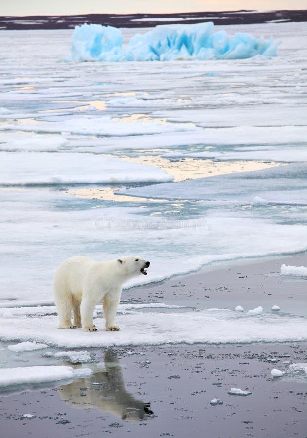 Polar björn royaltyfri foto
