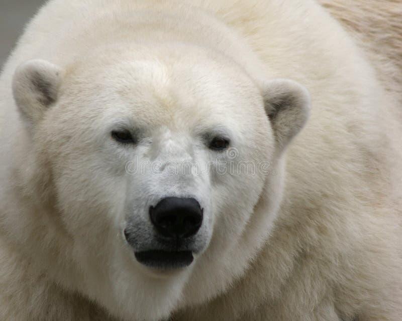 Download Polar björn arkivfoto. Bild av anhydrous, norr, däggdjur - 35346