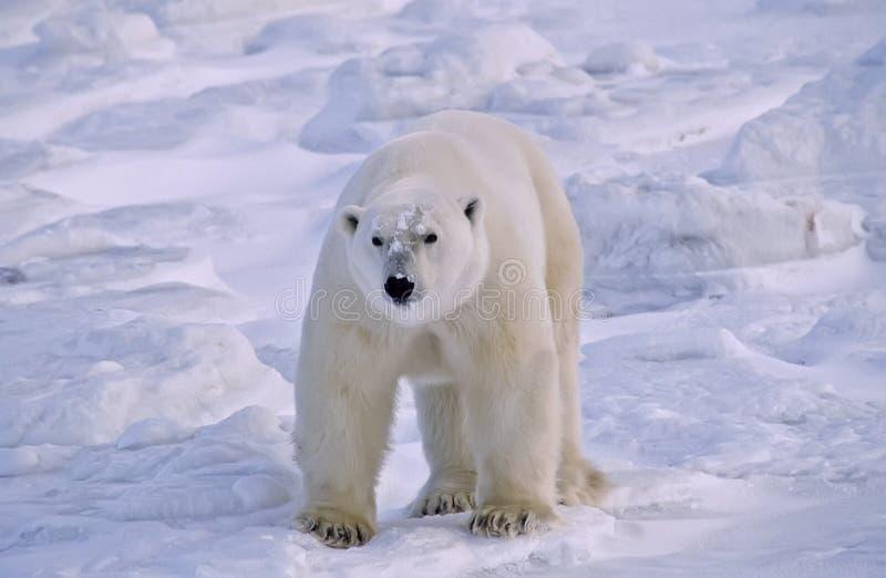 polar björn arkivfoton