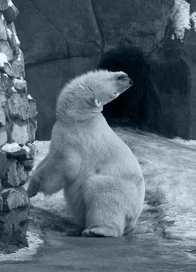 Polar björn för rolig vit arkivfoto