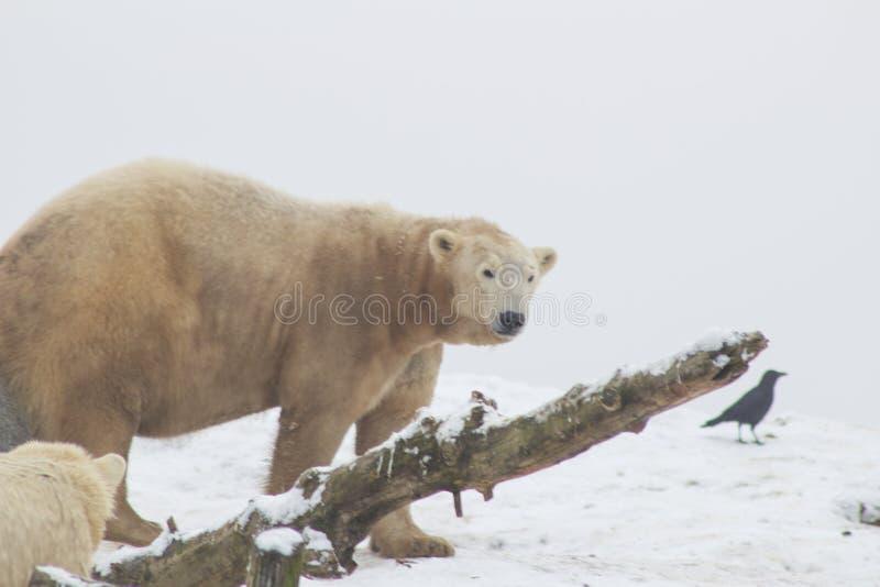 Polar björn i snowen arkivfoto