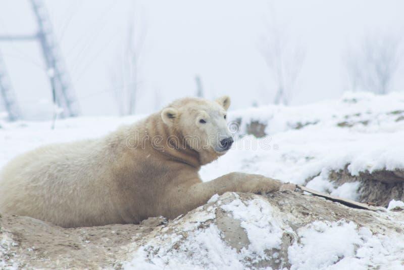 Polar björn i snowen fotografering för bildbyråer