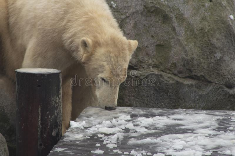 Polar björn i snowen arkivbild
