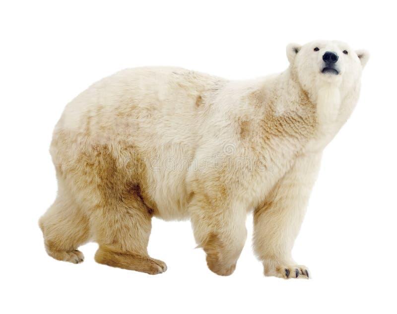 Polar björn. Isolerat över vit arkivbilder