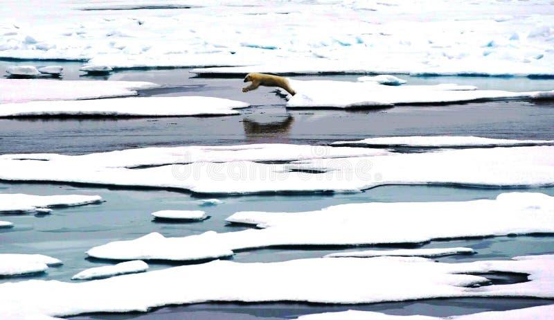 polar björnbanhoppning royaltyfria bilder