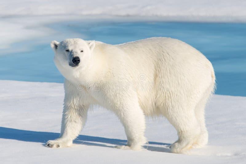 polar björnlook royaltyfri foto