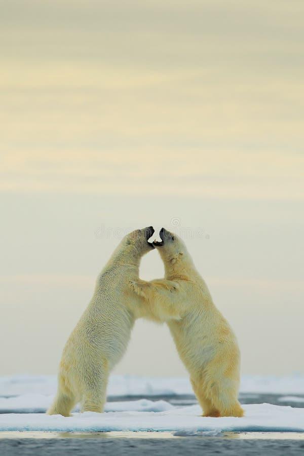 dancing polar bear she stock image image of footstep. Black Bedroom Furniture Sets. Home Design Ideas