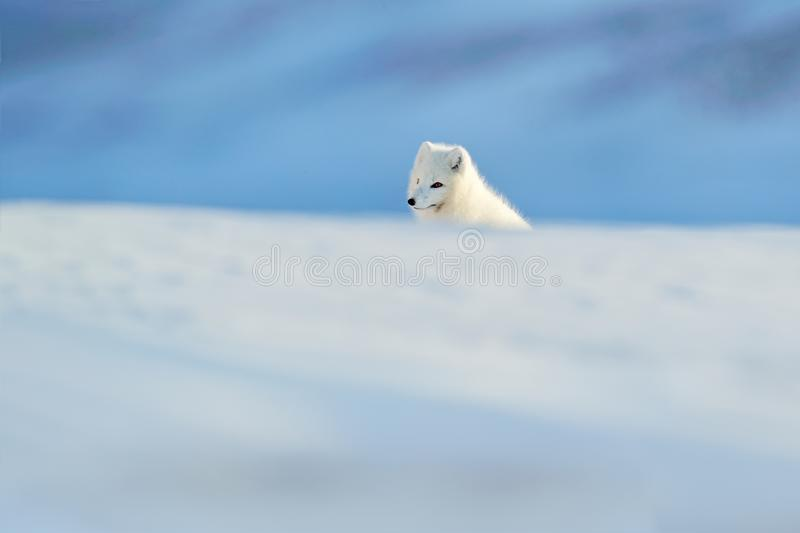 Polar fox in habitat, winter landscape, Svalbard, Norway. Beautiful animal in snow. Running fox. Wildlife action scene from nature. Vulpes lagopus, in the royalty free stock image