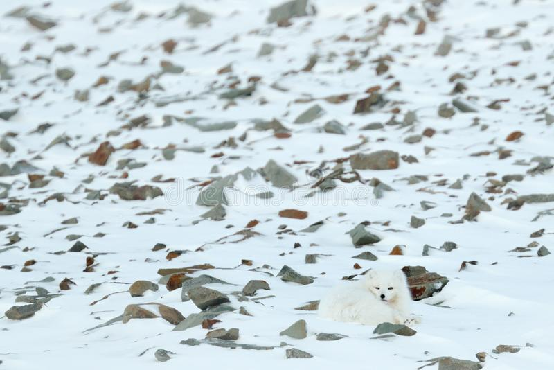 Polar fox in habitat, winter landscape, Svalbard, Norway. Beautiful white animal in the snow. Wildlife action scene from nature,. Vulpes lagopus, face portrait royalty free stock image