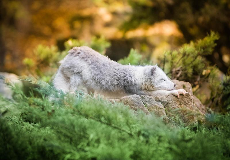 Polar Fox Stretching on the Stones under the Bush - White and Green Picture. Polar Fox Stretching on the Stones under the Bush royalty free stock photo