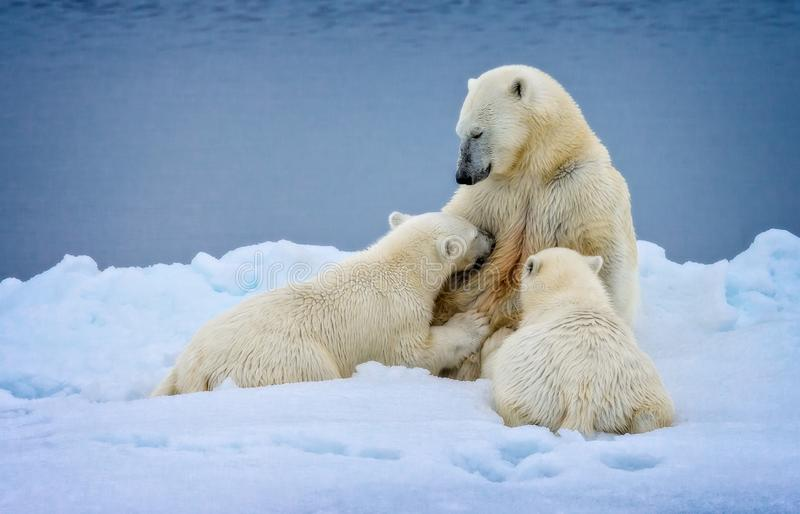 Polar Love in Spitzbergen, Norway, nursing polar bear cubs in the wild. Very rare to see stock image