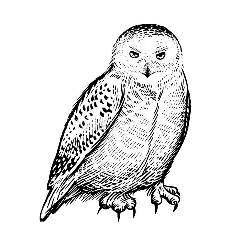 Polar owl. Predatory forest bird. Sketch hand drawing. Black and white royalty free illustration