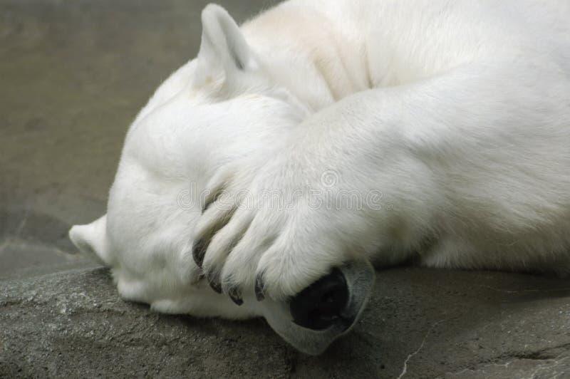 Polar Peek A Boo royalty free stock images