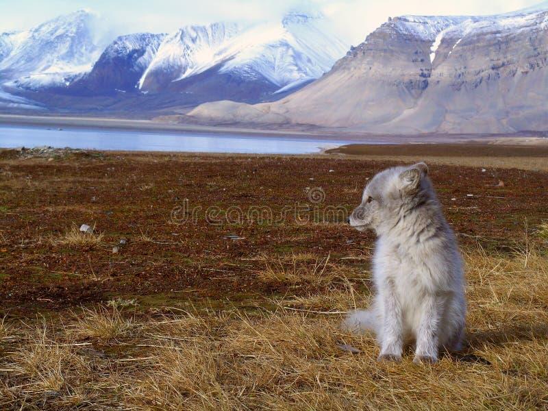 Polar räv royaltyfria foton