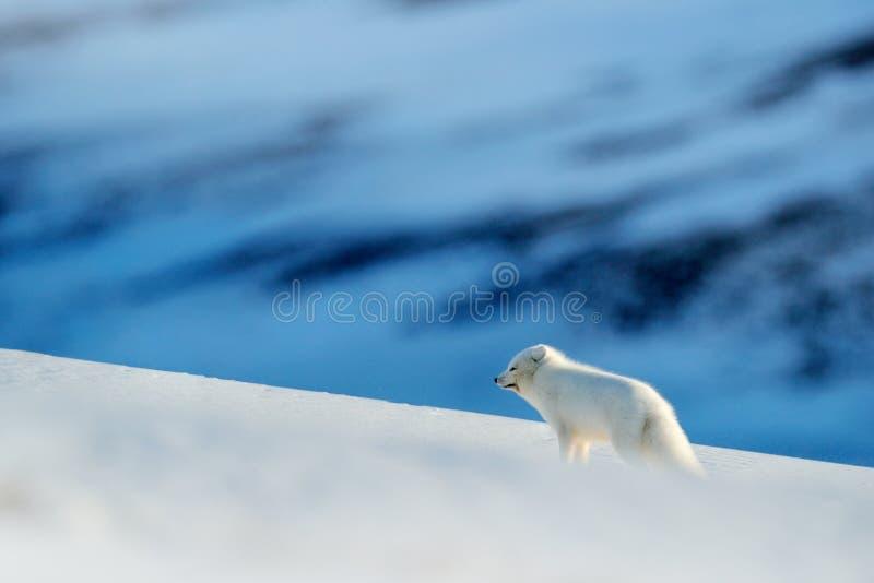 Polar räv i livsmiljön, vinterlandskap, Svalbard, Norge Härligt djur i snö Rinnande räv Djurlivhandlingplats från naturen arkivbild