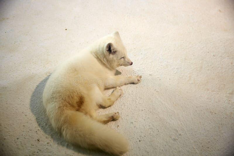 polar räv arkivfoto