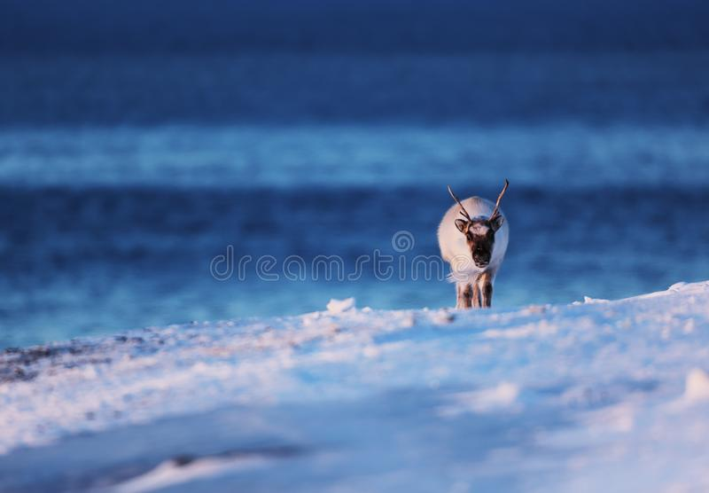 Polar reindeer on Frozen sea on Svalbard. Polar reindeer on Frozen sea in Adventfjord on Svalbard royalty free stock photography