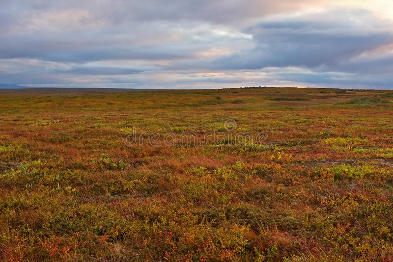Polar tundra colorful vegetation. Yamal peninsula stock photography