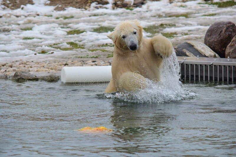 Polar-urso imagem de stock royalty free