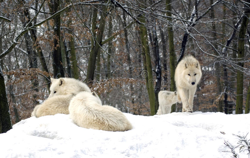 Polar wolf (canis lupus tundrorum). A horde of polar wolves resting on top of a hill royalty free stock images