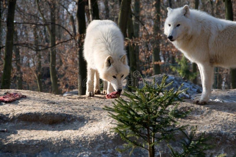 Polar wolf eats . Polar wolf eats meat. (Canis lupus tundrorum royalty free stock photos