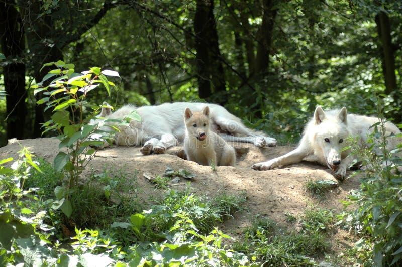 Polar wolf's family. White wolf's family (Canis lupus tundrorum stock photos
