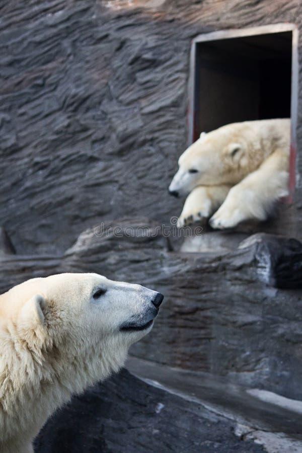 Polara björnar på zooen fotografering för bildbyråer