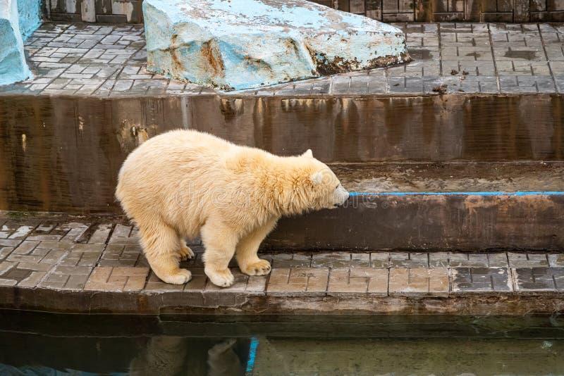 Polarbär im Zoo stockbilder