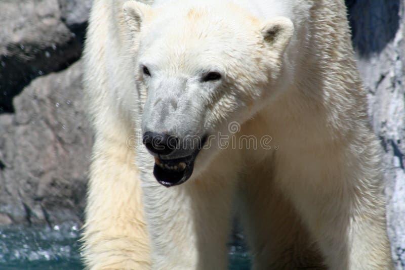 Download Polarbear στοκ εικόνες. εικόνα από άγριος, snout, γκρινιάξτε - 17052638