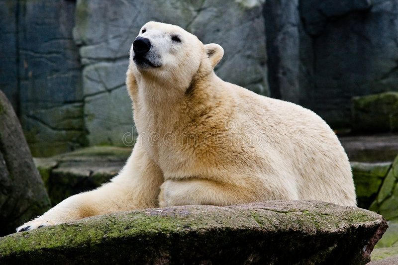 Polarbear Stock Photo